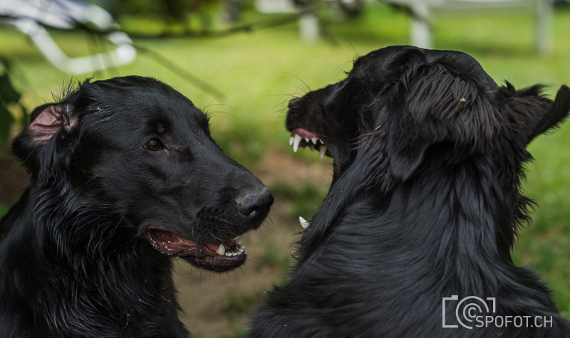 20140622_FlatcoatedforFriends_0010.jpg | 20140622_Fatcoated Retriever