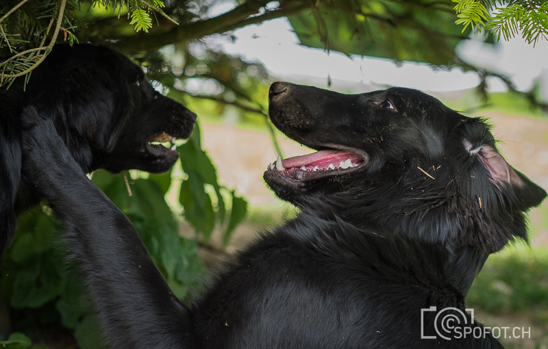 20140622_FlatcoatedforFriends_0015.jpg | 20140622_Fatcoated Retriever