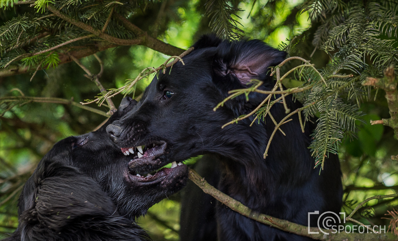 20140622_FlatcoatedforFriends_0056.jpg | 20140622_Fatcoated Retriever