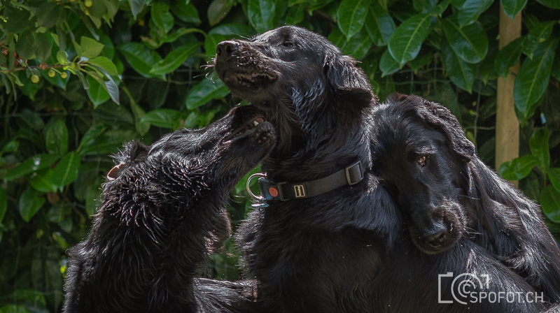 20140622_FlatcoatedforFriends_0065.jpg | 20140622_Fatcoated Retriever