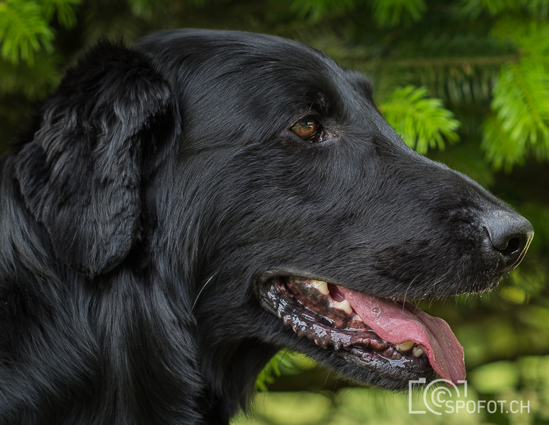 20140622_FlatcoatedforFriends_0080.jpg | 20140622_Fatcoated Retriever