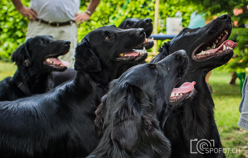 20140622_FlatcoatedforFriends_0100.jpg | 20140622_Fatcoated Retriever