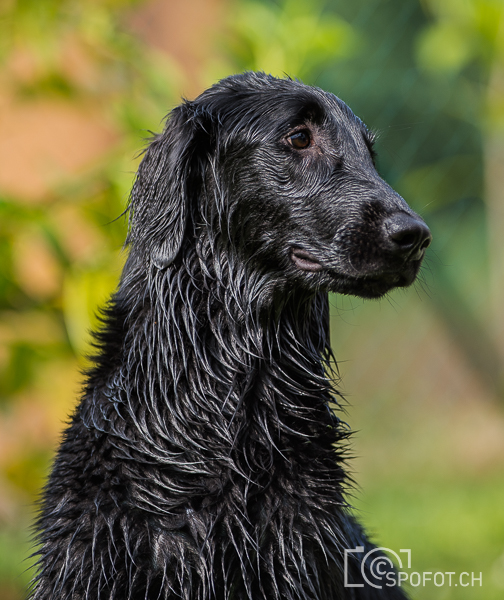 20140622_FlatcoatedforFriends_0181.jpg | 20140622_Fatcoated Retriever